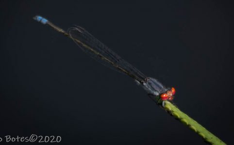 Cherry-eye Sprite. Jaco Botes