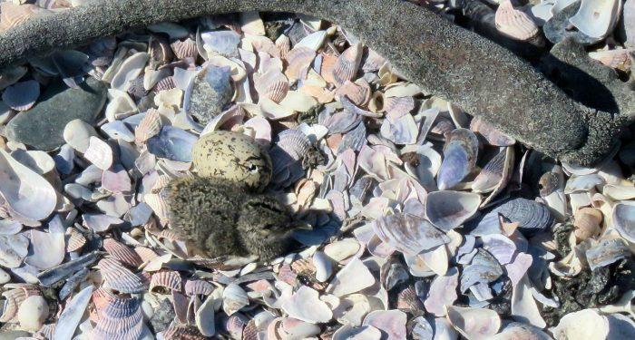African Black Oystercatcher hatchlings