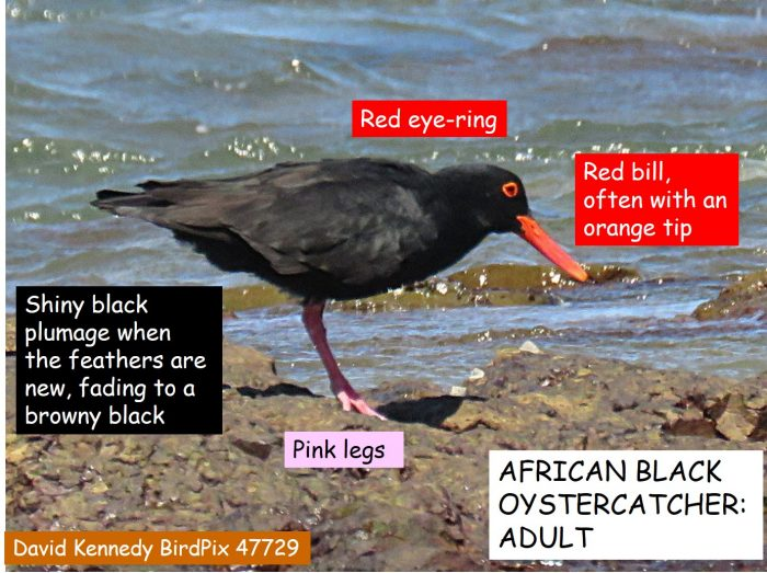 Identification of adult African Black Oystercatcher Haematopus moquini