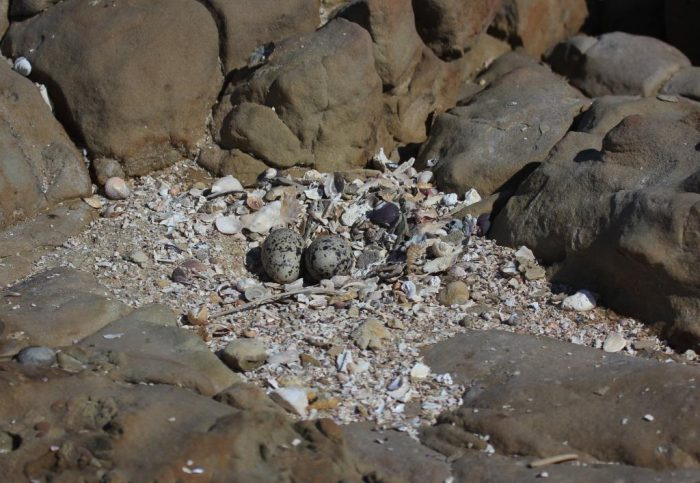 Nest of for African Black Oystercatcher on rocky shore