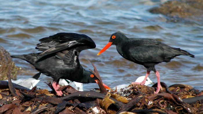 Pair of African Black Oystercatchers displaying