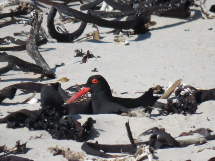 close up of African Black Oystercatcher on its nest on sandy shore
