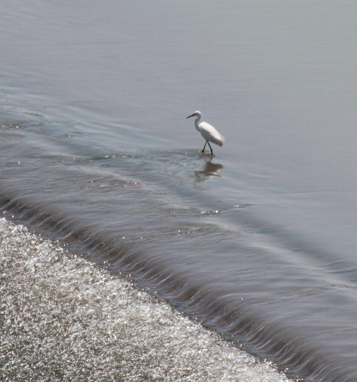 Little Egret Egretta garzetta living dangerously at Boegoeberg Dam
