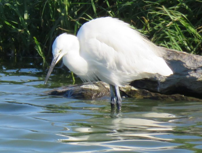 Littlr Egret Egret hiding yellow feet