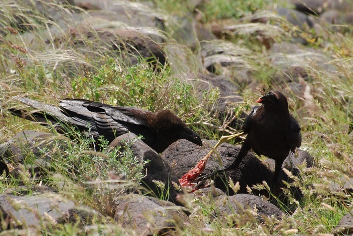 Figure 12: The ravens killed, dismembered, and ate the spotted thick-knee. (c) PS Wairasho.