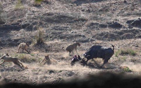Figure 3. Buffalo thrashing the kudu carcass. (c) J de Castro and M de Castro.