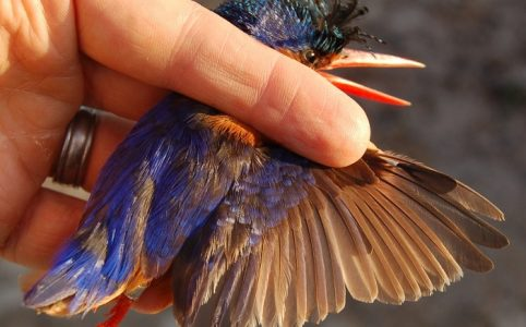 E16147 oldest known Malachite Kingfisher