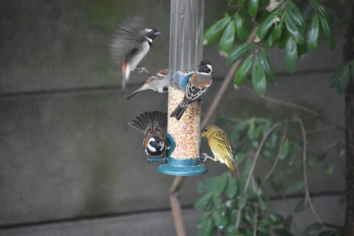 Cape Sparrows and a Cape Weaver vying for a spot at the feeder.