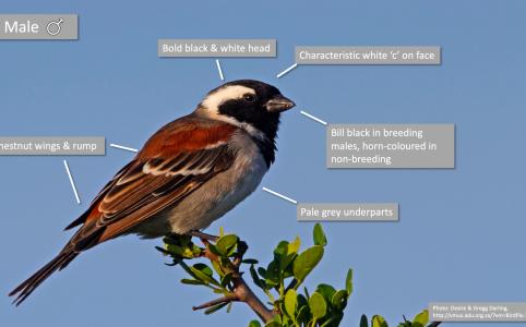 Cape Sparrow identification