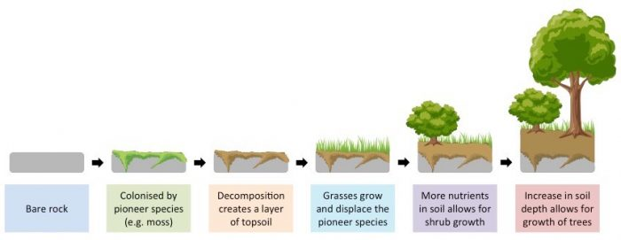 Primary succession. Rock is colonised by pioneer species, which create soil for the growth of grasses and larger plants, ultimately creating a climax community.