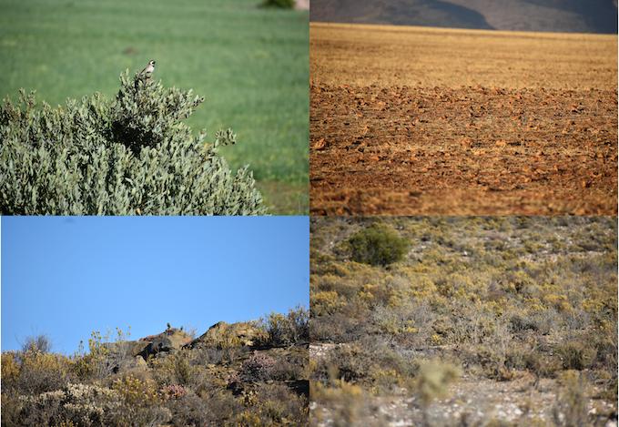 Examples of Cape Sparrow habitat.