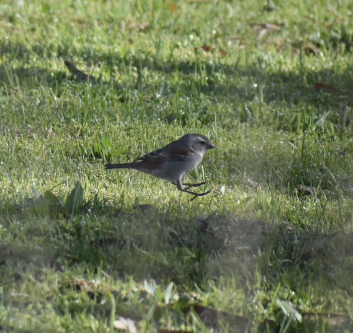 """Cape Sparrow demonstrating """"hopping"""" gait."""